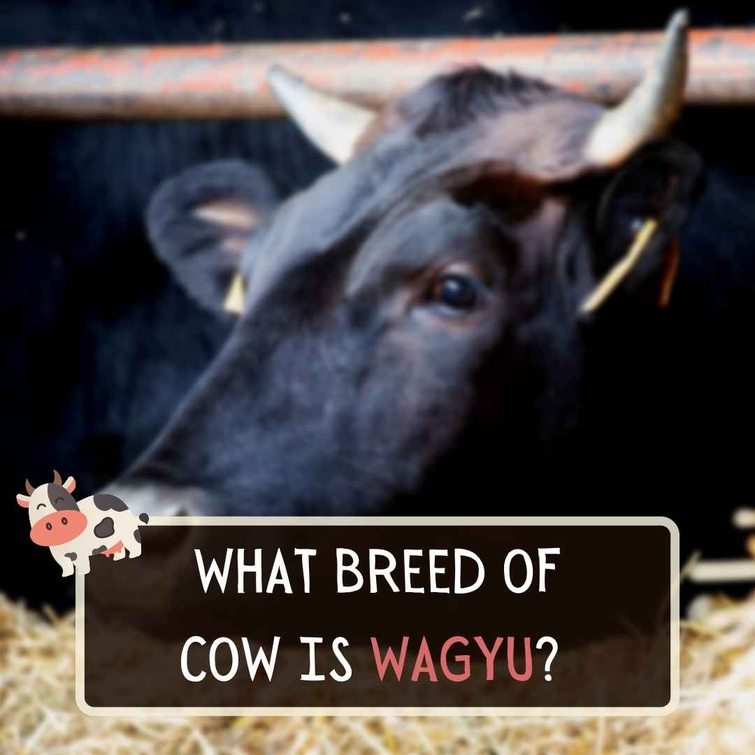 What Breed Of Cow Is Wagyu?